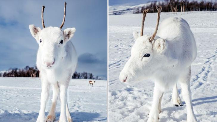 Фото №1 - В Норвегии сфотографировали белоснежного северного оленя