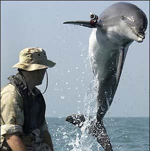 Фото №1 - Дельфинов и морских львов США призовут на военную службу