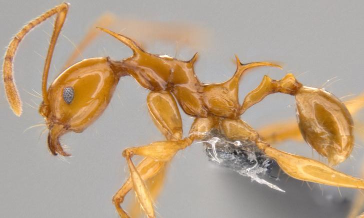 Фото №2 - Новые виды муравьев назвали в честь драконов из «Игры престолов»