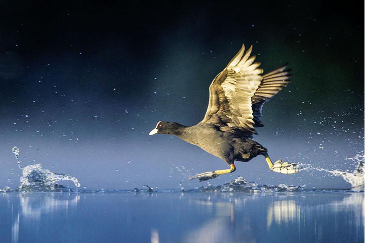NATURE PL/ LEGION-MEDIAУводоплавающей лысухи налапах нет перепонок. При беге поводе она помогает себе крыльями