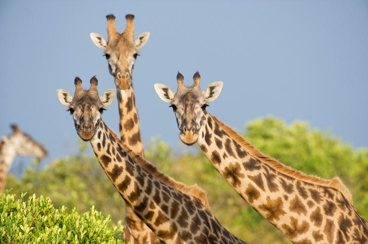 Фото №1 - Раскрыт секрет формирования длинной шеи у жирафов