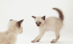Описание породы тонкинская кошка
