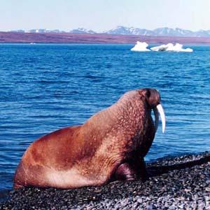 Фото №1 - Около десяти тысяч моржей появились на Чукотке