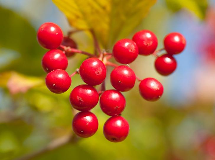 Фото №4 - В своем отечестве: самые полезные осенние ягоды