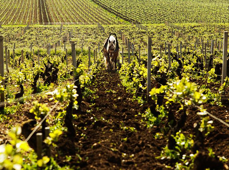 Фото №4 - Вино с приставкой «bio»: кто ввел тренд на биодинамические вина и где их искать