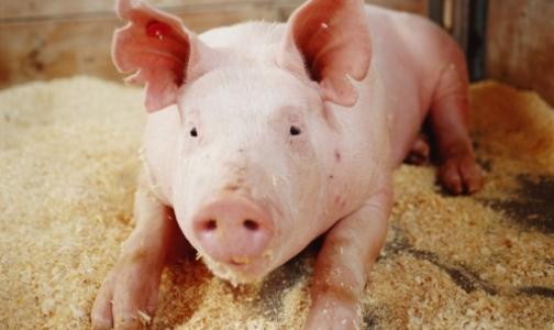 Фото №1 - В трех районах Петербурга уничтожат все поголовье свиней
