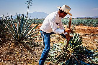 Фото №2 - Национальное достояние: текила — грусть агавы