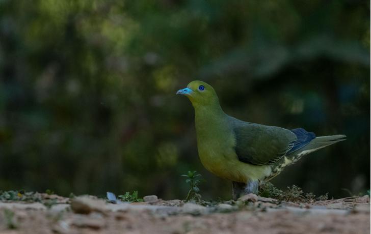 Фото №1 - Редкий, яркий и скрытный: кто такой зеленый голубь