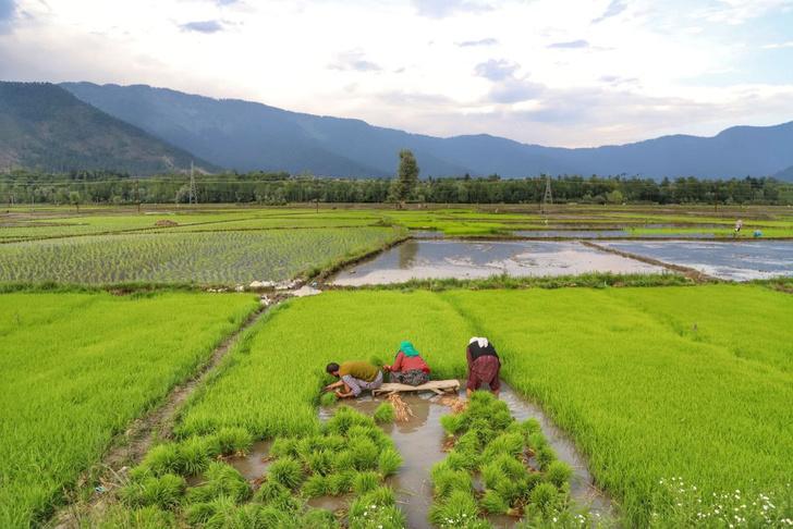 Фото №1 - Рисовые поля