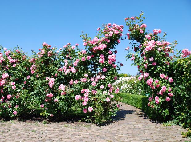 Фото №2 - 5 лучших растений для вертикального озеленения садового участка