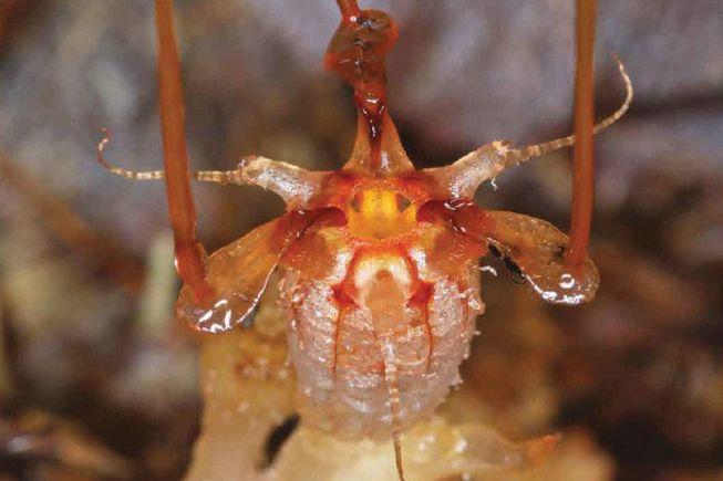Фото №1 - Ученые вновь обнаружили загадочное подземное растение