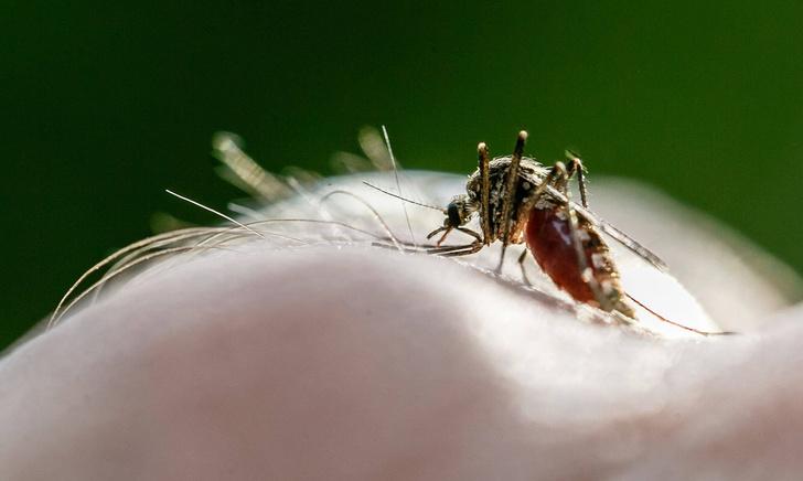 Фото №1 - Почему комары кусаются