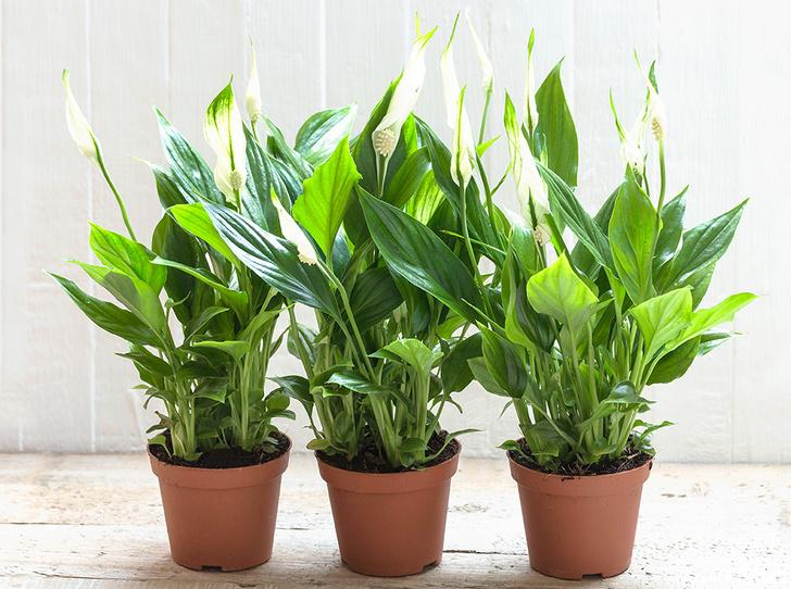 Фото №5 - 6 самых неприхотливых комнатных растений