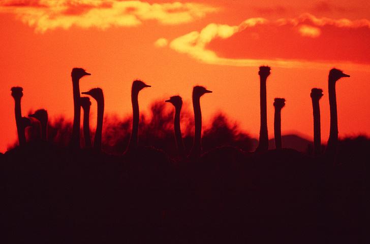 Фото №8 - Бабье царство: Как устроено страусиное общество