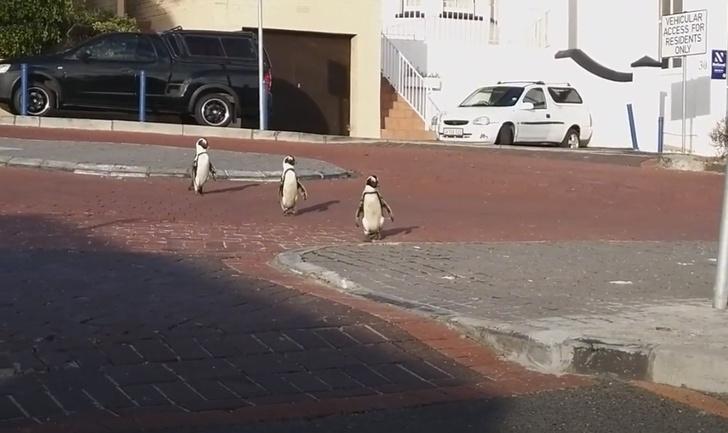 Фото №1 - В ЮАР во время карантина на улицы городов вышли пингвины (видео)