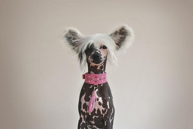 Фото №3 - Холод собачий: 10 пород собак, которые очень мерзнут зимой
