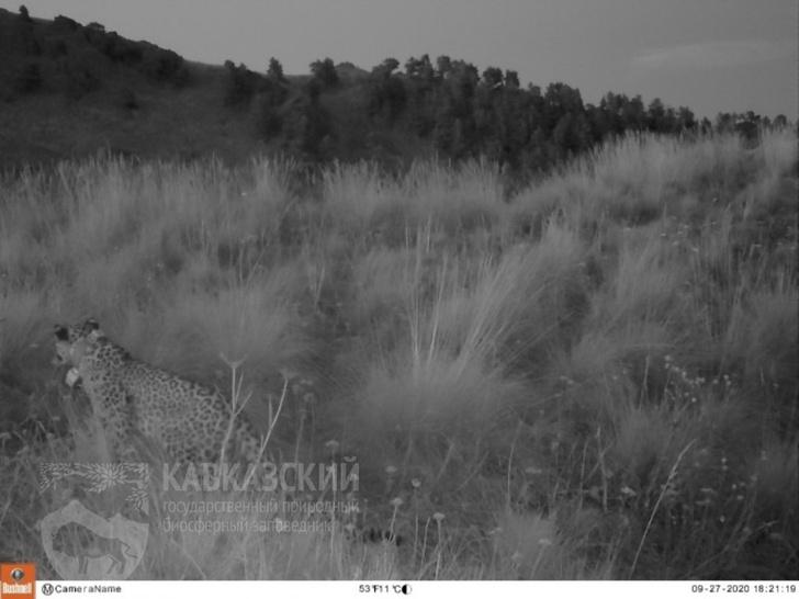 Фото №1 - На Кавказе погибла самка переднеазиатского леопарда