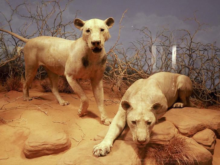Фото №13 - Кровожадная история самого знаменитого в истории противостояния между человеком и львом