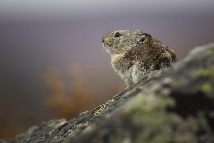 Фото №2 - Пика-пика! Познакомьтесь с родственником зайца, издающим причудливый свист