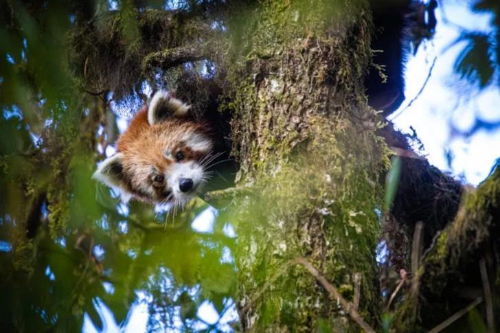 Фото №1 - Ученые впервые надели GPS-ошейники на малых панд