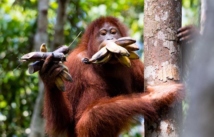 Фото №1 - Жадный орангутан