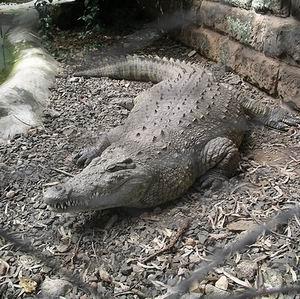 Фото №1 - Скитания крокодила Годзиллы