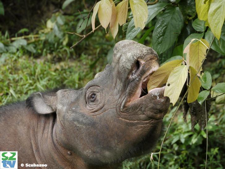 Фото №1 - У суматранских носорогов появилась надежда на выживание