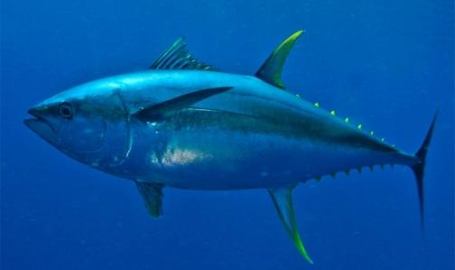 Фото №1 - Петербургский Роспотребнадзор ищет американского тунца с сальмонеллой