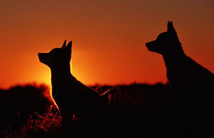 Фото №4 - Собаки с волчьим билетом