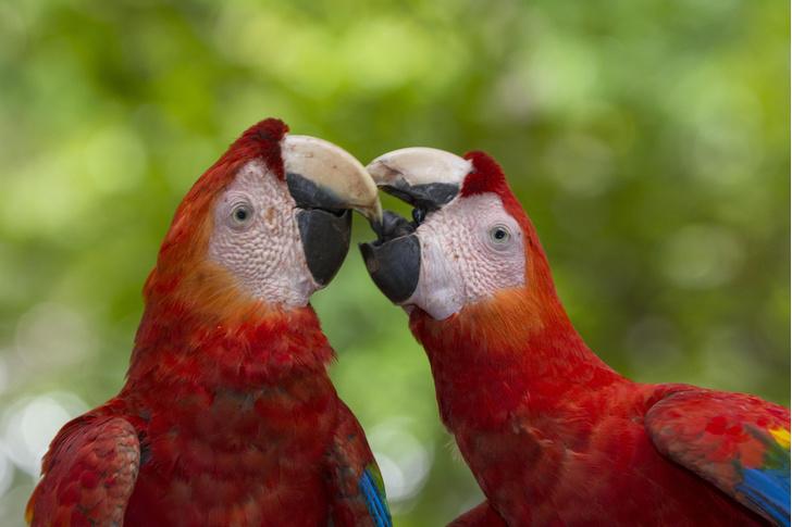 Фото №1 - Индейцы Северной Америки разводили попугаев