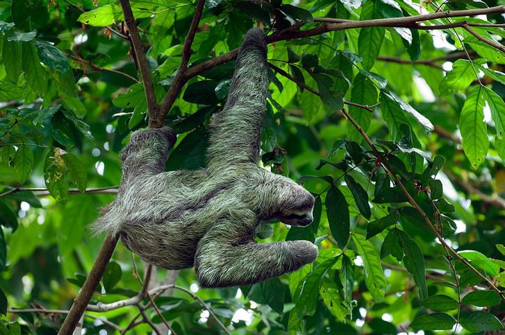 Фото №1 - Какое животное имеет зеленый мех?