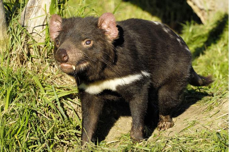 Фото №1 - Тасманийские дьяволы вернулись в Австралию