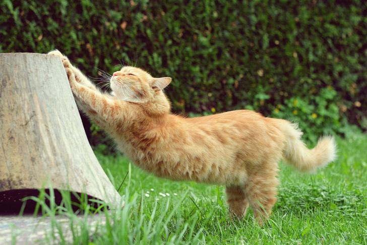 Фото №1 - Специалисты рассказали, почему кошки так часто потягиваются