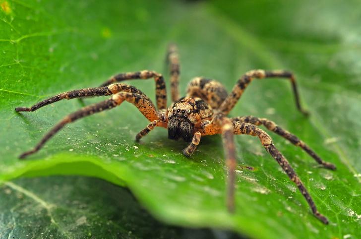 Фото №1 - Страх перед пауками сформировался у людей в результате эволюции