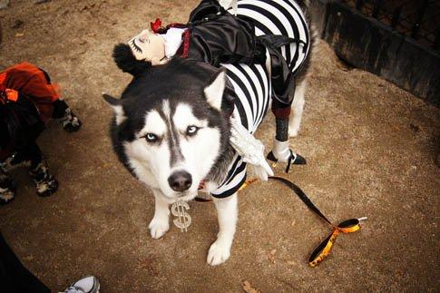 Фото №20 - Фотоподборка недели: собаки, которые уже готовы к Хэллоуину