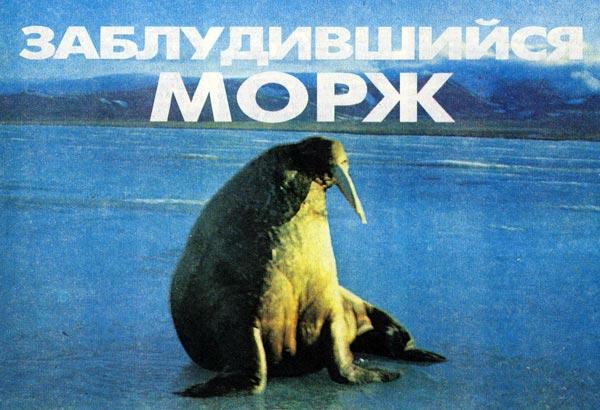 Фото №1 - Заблудившийся морж