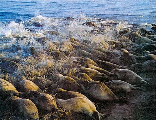 Фото №1 - Тюлени каспийских песков
