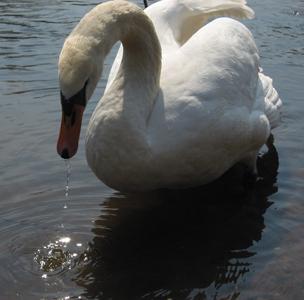 Фото №1 - Лебеди остались на зимовку