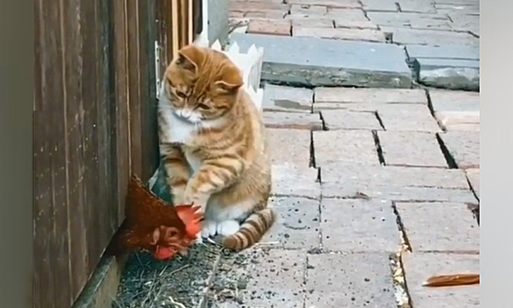Фото №1 - Видео, на котором кот безуспешно пытается одолеть петуха, рассмешило Интернет