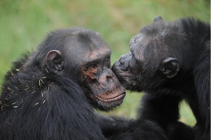 Фото №1 - Шимпанзе предпочитают делиться едой с друзьями