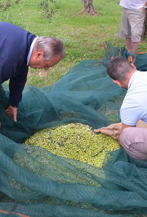 Фото №6 - Секреты выбора и хранения оливкового масла от греческих экспертов