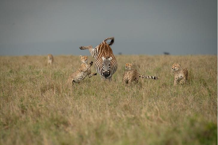 Фото №1 - Охота на зебру
