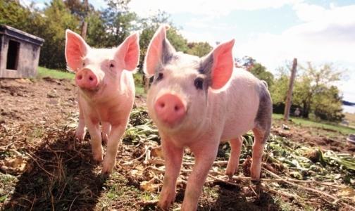 Фото №1 - Россия вводит запрет на ввоз европейской свинины из-за африканской чумы
