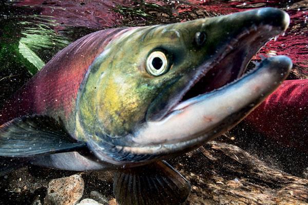 Фото №4 - Вечное возвращение: удивительные факты из жизни лососей