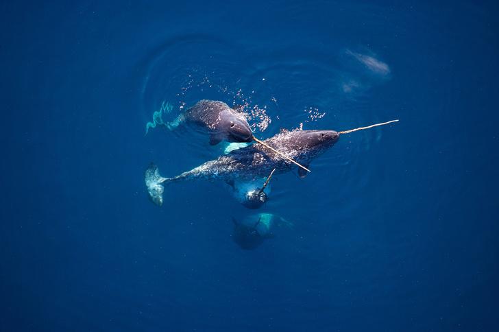Фото №1 - Морские единороги