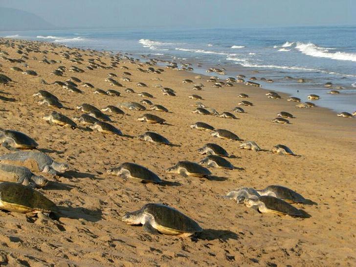 Фото №1 - Берег черепах
