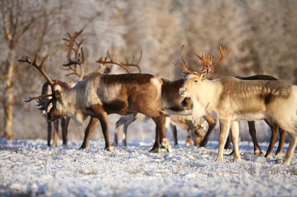 Фото №2 - Дед Мороз из страны лопарей
