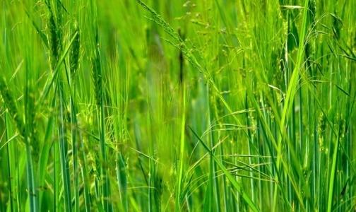 Фото №1 - Какие травы опасны для аллергиков в июле