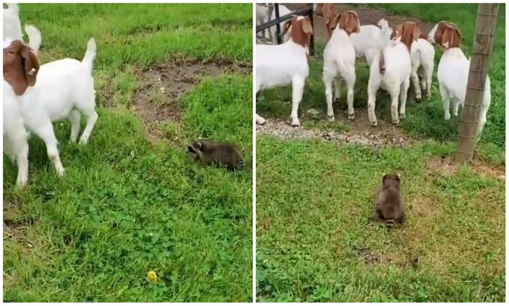 Фото №1 - Енот по кличке Начальник загоняет коз в загон (видео)