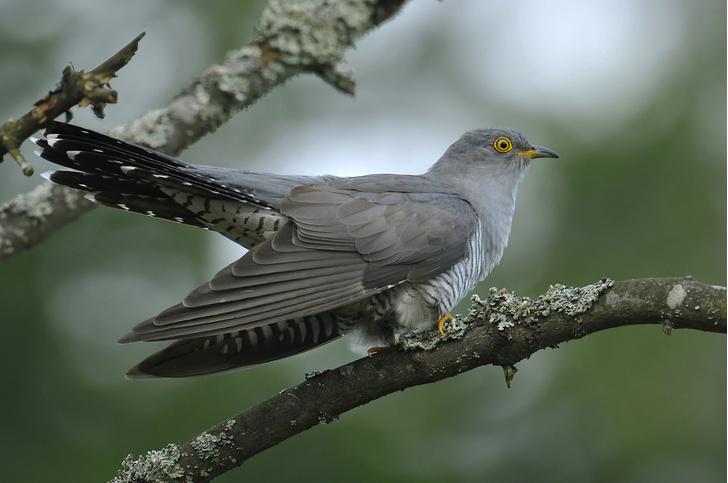 Фото №1 - Почему кукушка подкидывает яйца другим птицам?